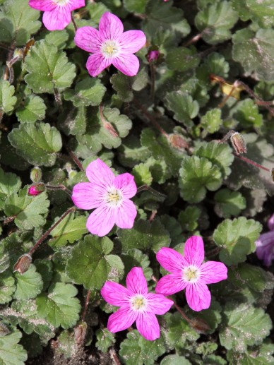 Erodium x variabile 'Bishop's Form' - Reigersbek
