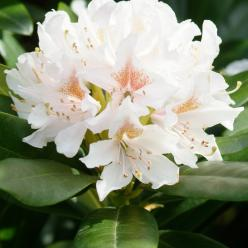 Rhododendron 'Cunningham's White' - Rododendron