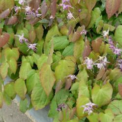 Epimedium grandiflorum 'Lilafee' - Elfenbloem