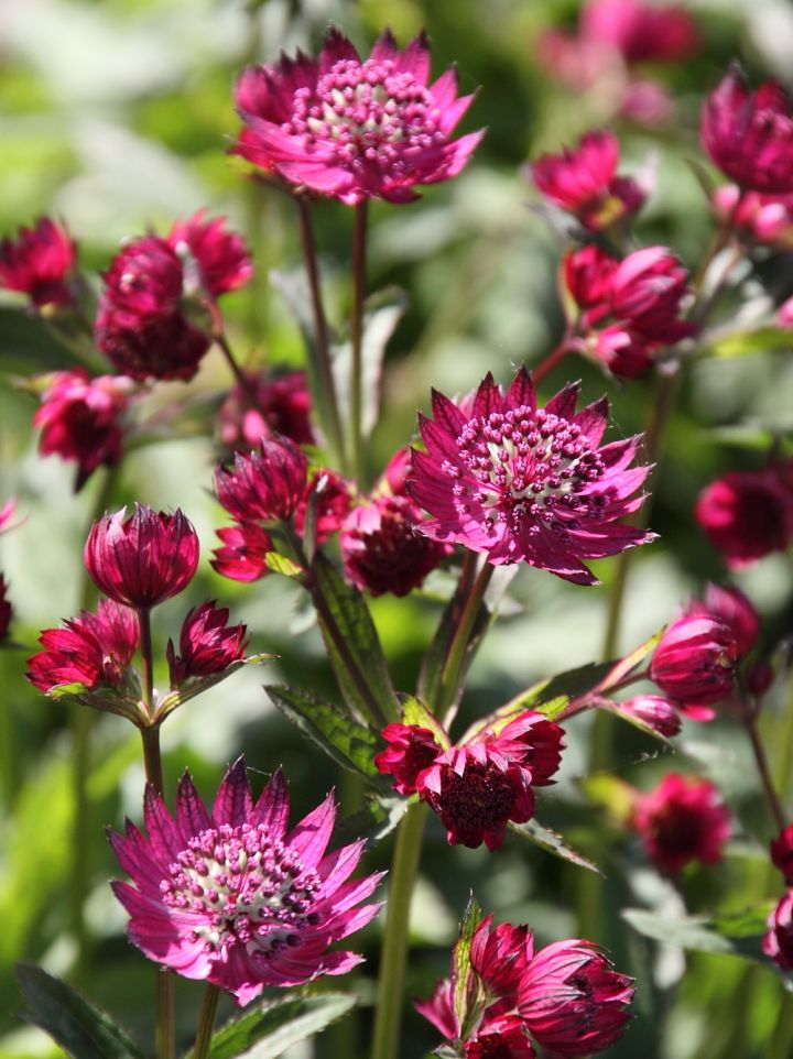Astrantia major 'Abbey Road' - Zeeuws knoopje