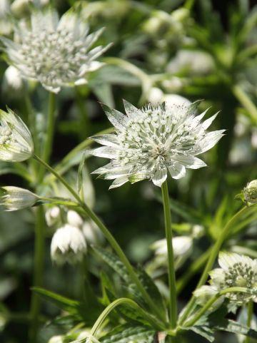 Astrantia 'Snow Star' - Zeeuws knoopje