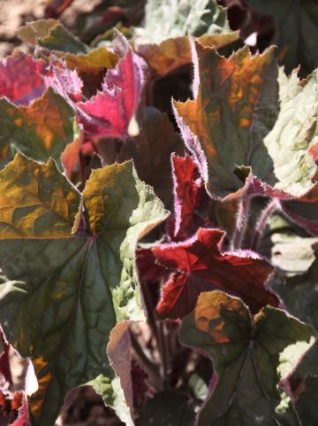 Heuchera 'Big Top Bronze' - Purperklokje