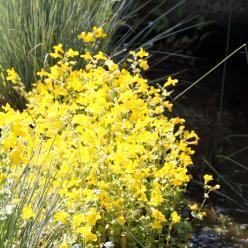 Mimulus guttatus - Gele maskerbloem
