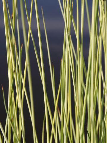 Scirpus lacustris 'Albescens' - Bonte mattenbies