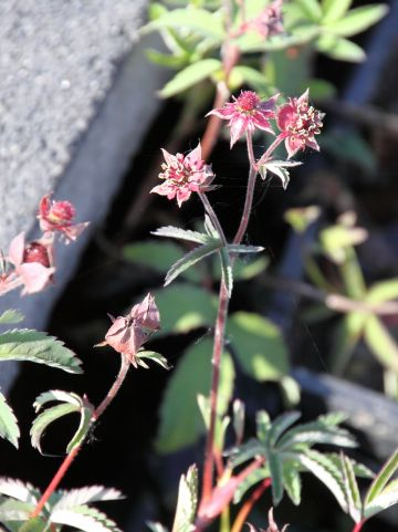 Potentilla palustris - Wateraardbei