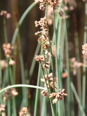 Scirpus lacustris - Mattenbies