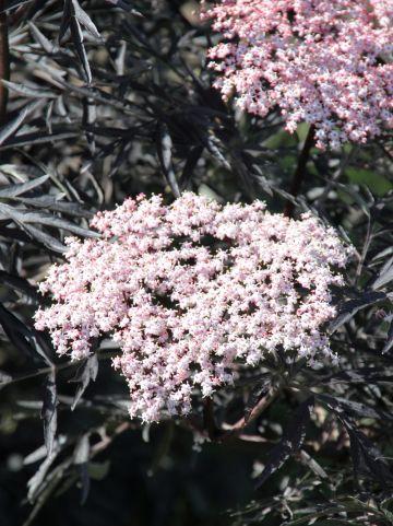 Sambucus nigra 'Black Lace' - Gewone vlier