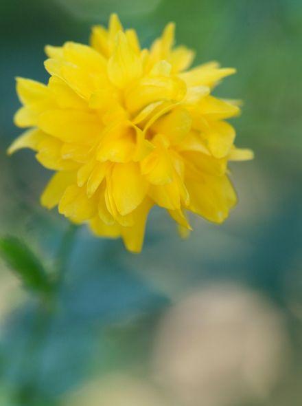 Kerria japonica 'Pleniflora' (Ranonkelstruik)