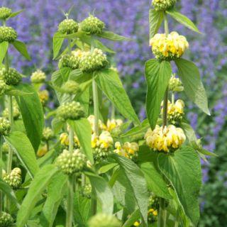 Phlomis russeliana (Brandkruid, Brandkräuter, Jerusalem sage, Lampwick plant)
