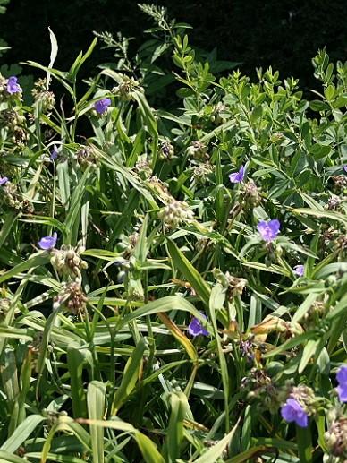 Tradescantia 'Zwanenburg Blue' - Eéndagsbloem, vaderplant