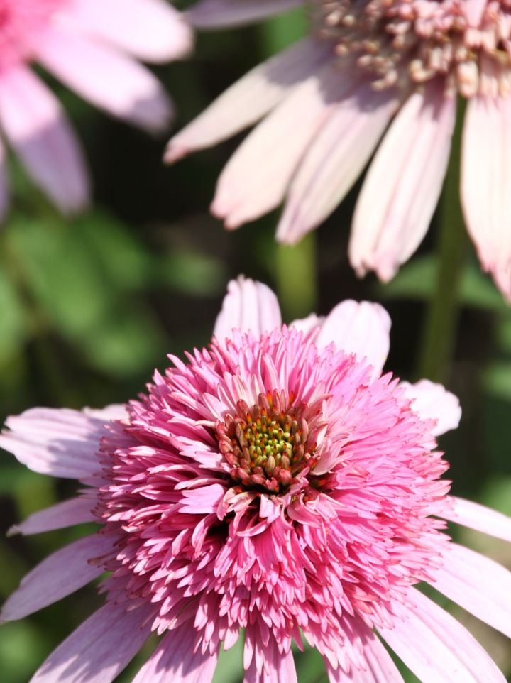 Echinacea 'Pink Sorbet' - Zonnehoed
