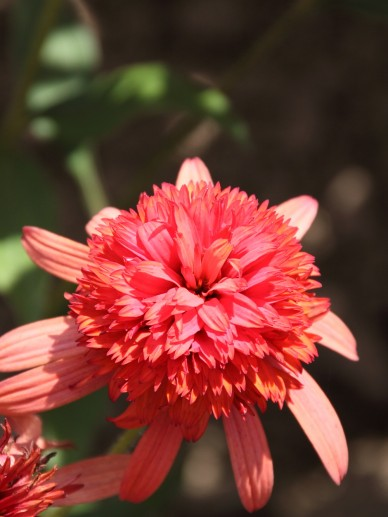 Echinacea 'Sombrero Salsa Red' - Zonnehoed