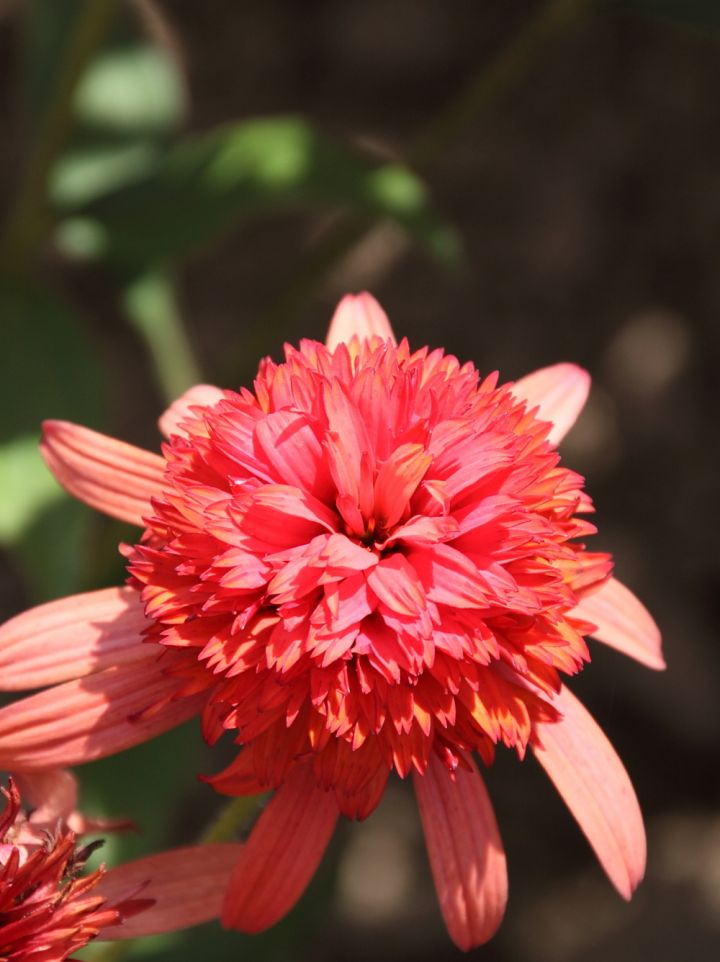 Echinacea 'Sombrero Salsa Red' - Zonnehoed