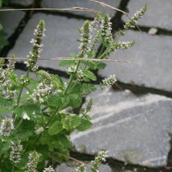 Mentha x rotundifolia 'Variegata' - Ananasmunt