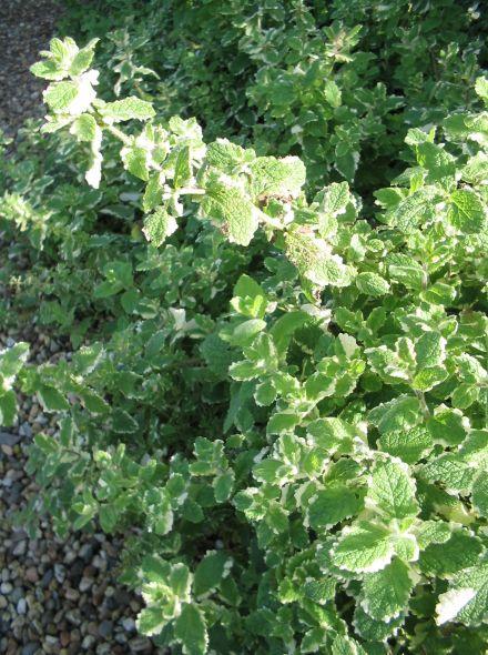 Mentha rotundifolia 'Variegata' (Ananasmunt, Appelmunt)