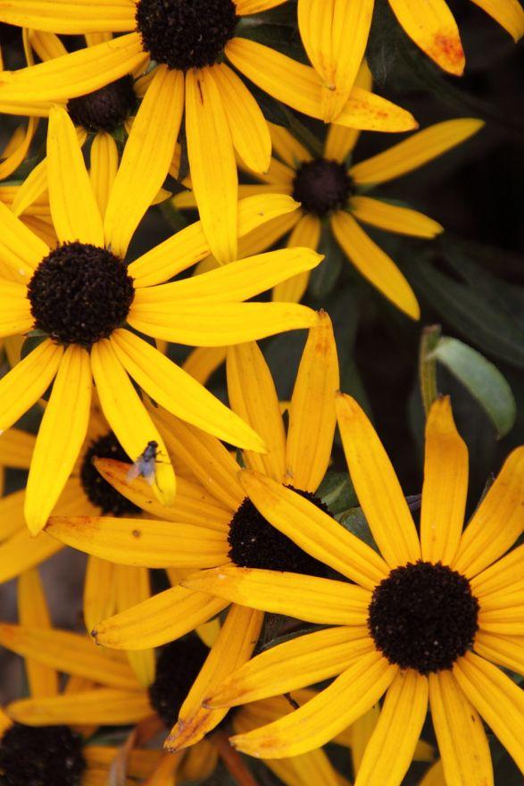 Rudbeckia fulgida var. sullivantii 'Little Goldstar' (Zonnehoed)