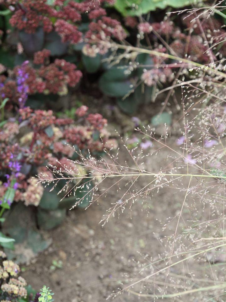Sporobolus airoides 'Delicatesse' - Sporobolus