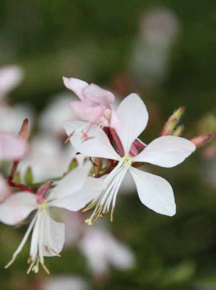 Gaura lindheimeri 'Whirling Butterflies' (Lindheimers prachtkaars)