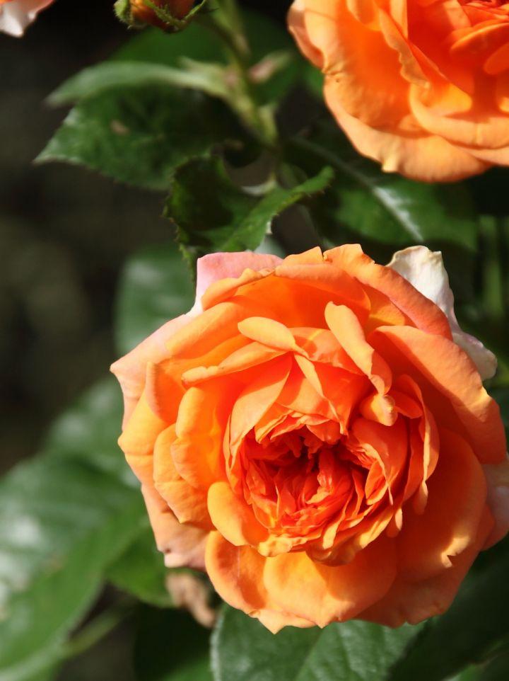 Rosa 'Amazing' - Stamroos