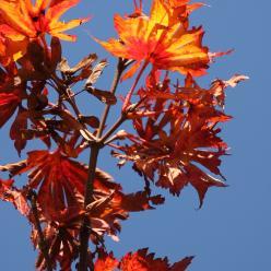 Acer japonicum 'Aconitifolium' - Japanse esdoorn
