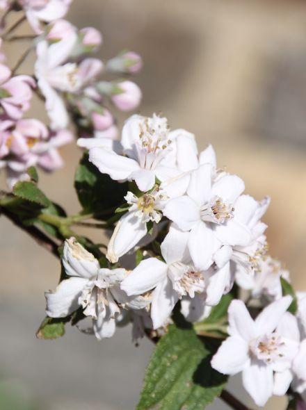 Deutzia hybrida 'Mont Rose' (Bruidsbloem)