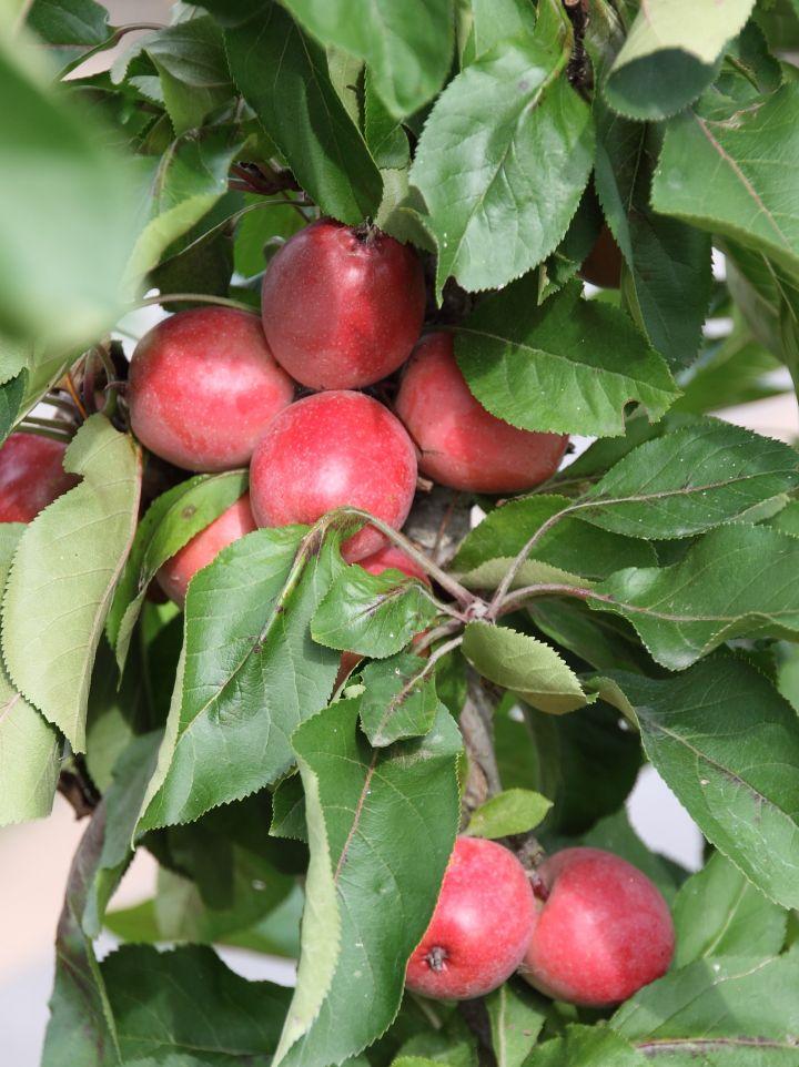 Malus domestica 'Sunlight' - Appelboom (Minitree)