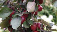 Zuilappels, Kolomappels, minitree appels