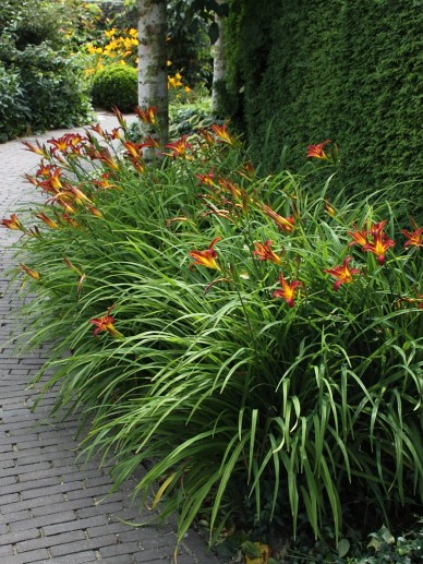 Hemerocallis 'Autumn Red' - Daglelie