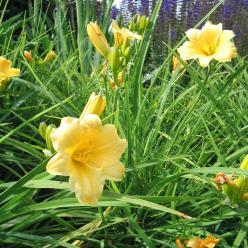 Hemerocallis 'Stella d'Oro' - Daglelie