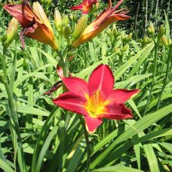 Hemerocallis 'Lusty Lealand' - Daglelie