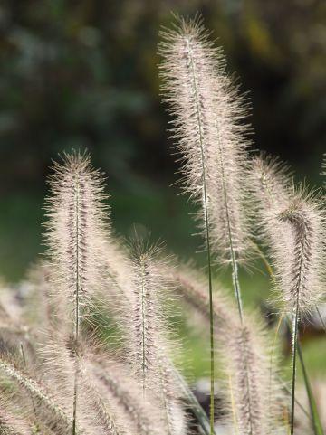 Pennisetum alopecuroides 'Penalope' - Lampenpoetsersgras