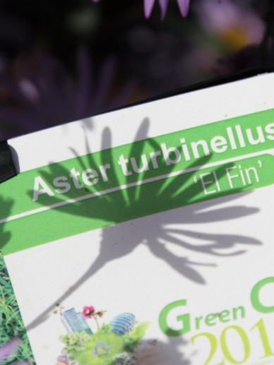 Aster turbinellus 'El Fin' - Herfstaster