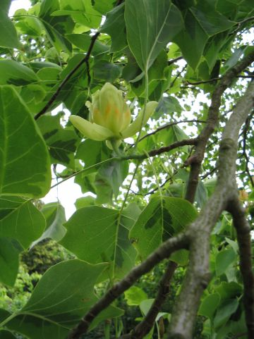 Liriodendron tulipifera 'Aureomarginatum' - Tulpenboom