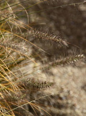 Pennisetum alopecuroides var. viridescens - Lampenpoetsersgras