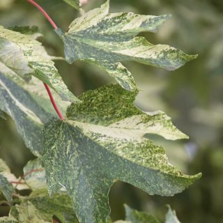 Acer pseudoplatanus 'Leopoldii' (Bontbladige gewone esdoorn)