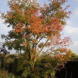 Acer griseum - Papieresdoorn