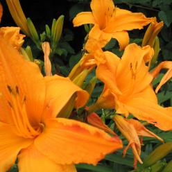 Hemerocallis 'Burning Daylight' - Daglelie