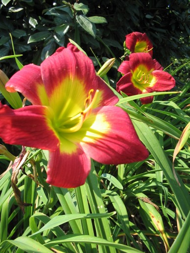 Hemerocallis 'Christmas Is' - Daglelie