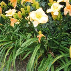 Hemerocallis 'Serena Sunburst' - Daglelie