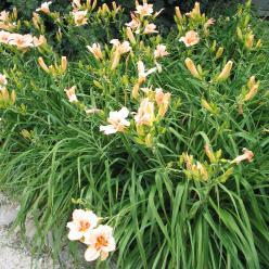 Hemerocallis 'Lynn Hall' - Daglelie