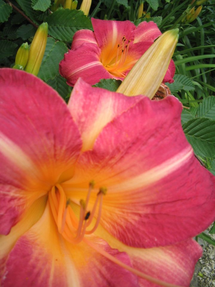 Hemerocallis 'Cherry Cheeks' - Daglelie