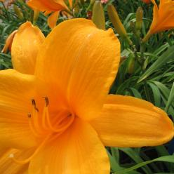 Hemerocallis 'Norton Orange' - Daglelie