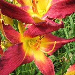 Hemerocallis 'Red Suspenders' - Daglelie