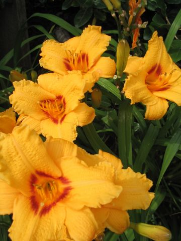 Hemerocallis 'Little Paul' - Daglelie