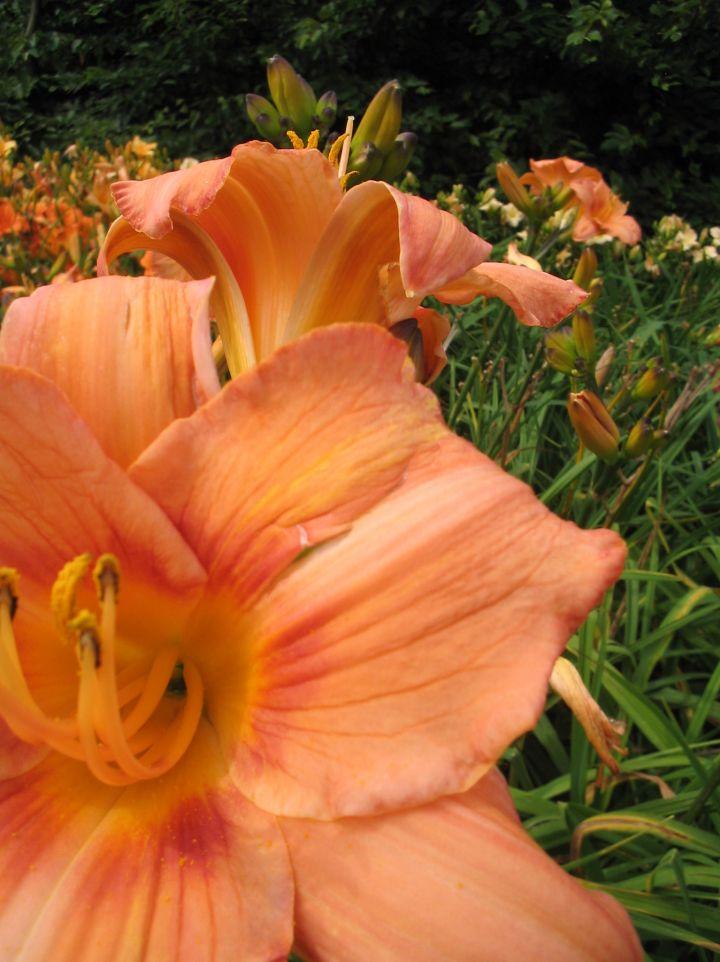 Hemerocallis 'Saratoga Belle' - Daglelie