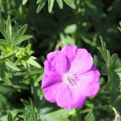 Geranium sanguineum 'New Hampshire Purple' - Ooievaarsbek