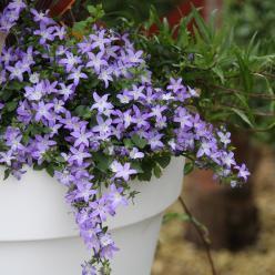 Campanula poscharskyana Addenda® 'Blue Star' - Klokjesbloem