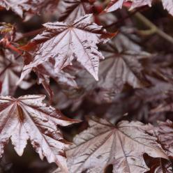 Acer platanoides 'Crimson Sentry' - Noorse esdoorn