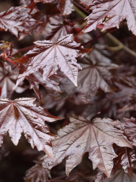 Acer platanoides 'Crimson Sentry' (Noorse esdoorn)