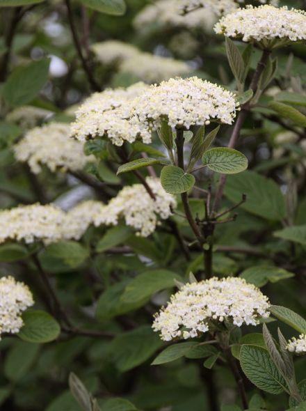 Viburnum lantana (wollige sneeuwbal)